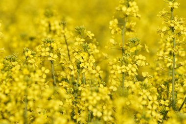 Close-up of canola flowers