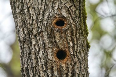 Holes in oak tree trunk