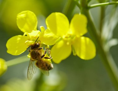 Honeybee on canola flower