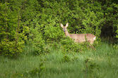 deer hiding behind bushes