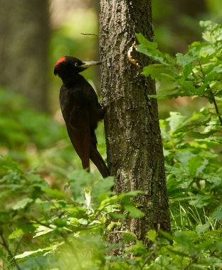Black woodpecker in forest