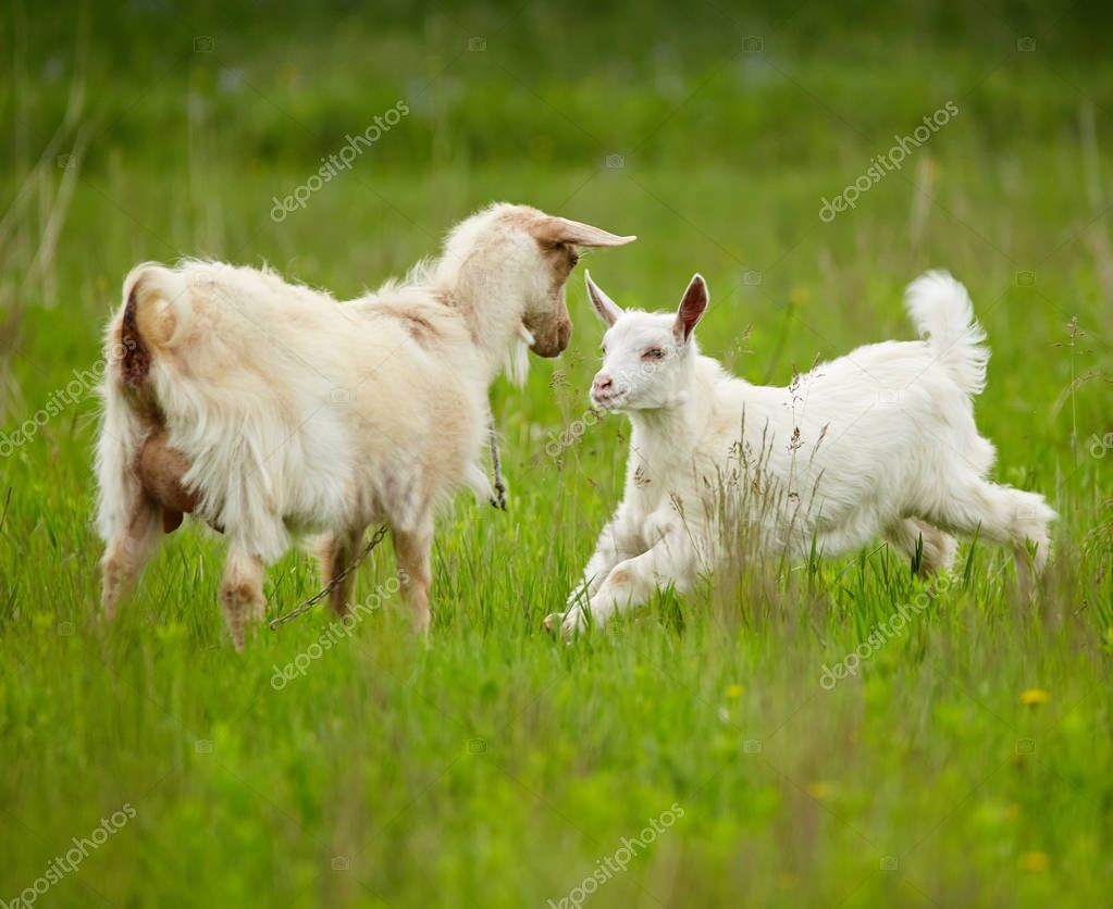 White goats on meadow