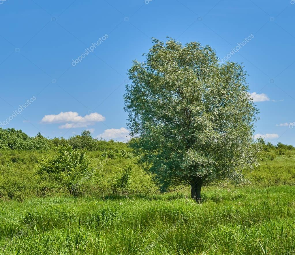 Big willow tree