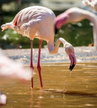 Pink flamingo birds in lake