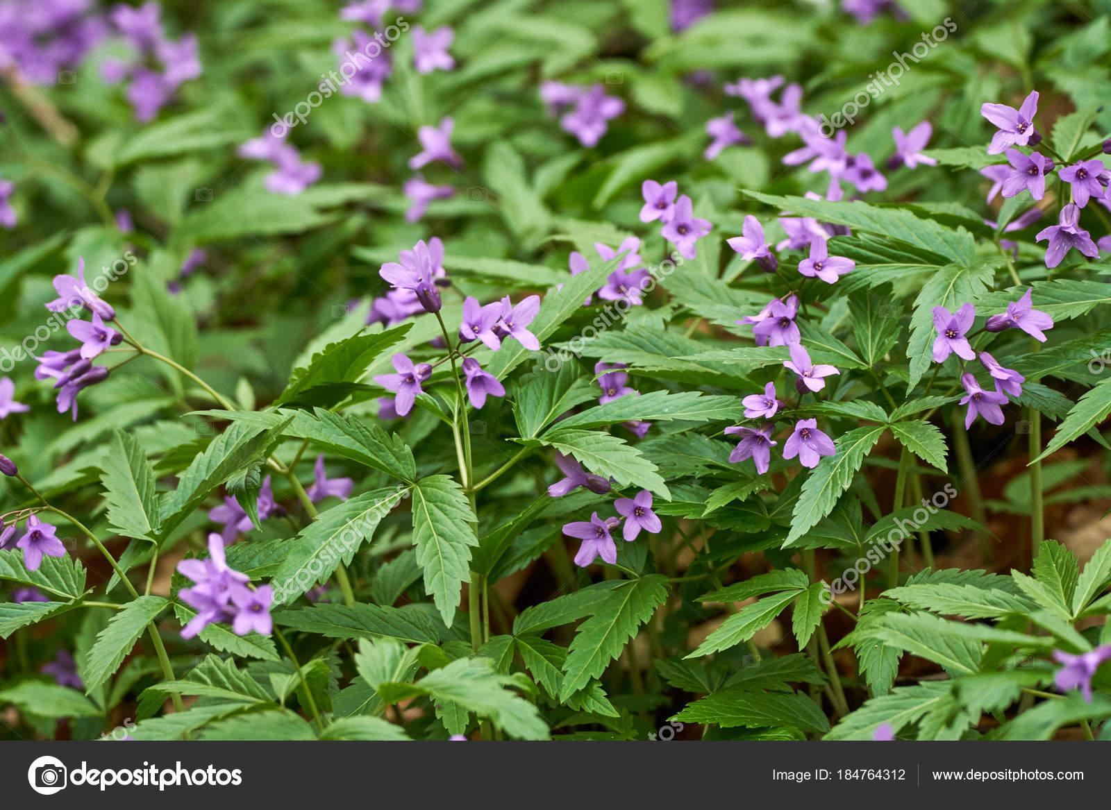 Small Purple Flowers Field Spring Time Stock Photo Xalanx 184764312