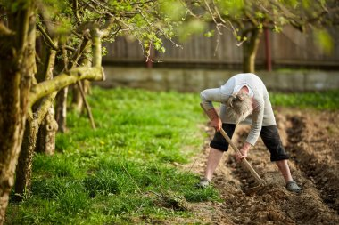 Old woman farmer planting potatoes in her garden
