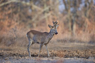 Roebuck, Capreolus capreolus, in forest, early spring time
