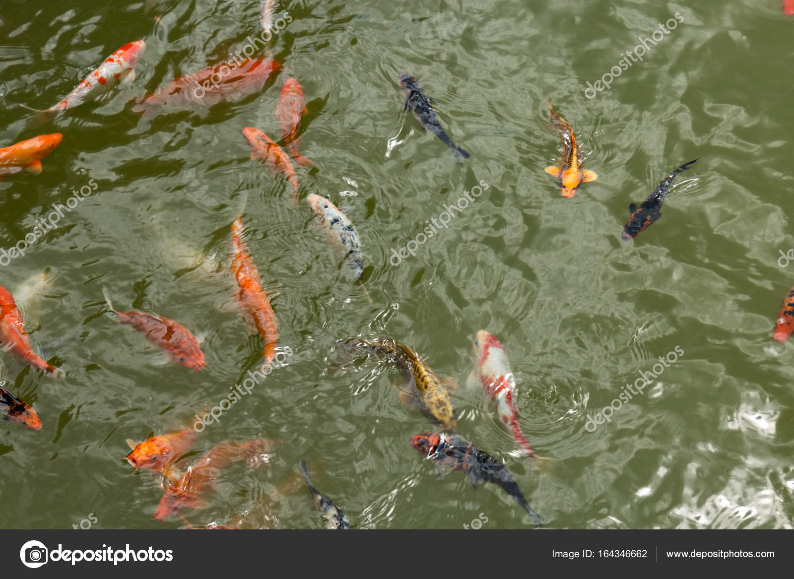 Een groep van mooie koi karper vissen zwemmen in de natuurlijke