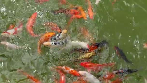 Záběry ozdobný kapr fish, zrcadlo ryby kapr, koi Ryby kecy