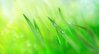 Water drops on fresh grass leaves. Green meadow in the rays of the rising sun. Nature background. Spring landscape. Macro photo.