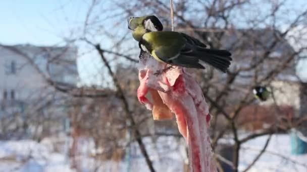 Vögel füttern im Winter, Meisen picken Schmalz