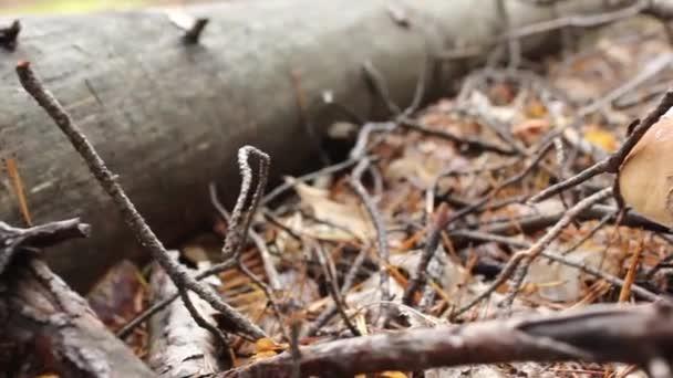Gombatermesztés (Boletus edulis) kidőlt fák között