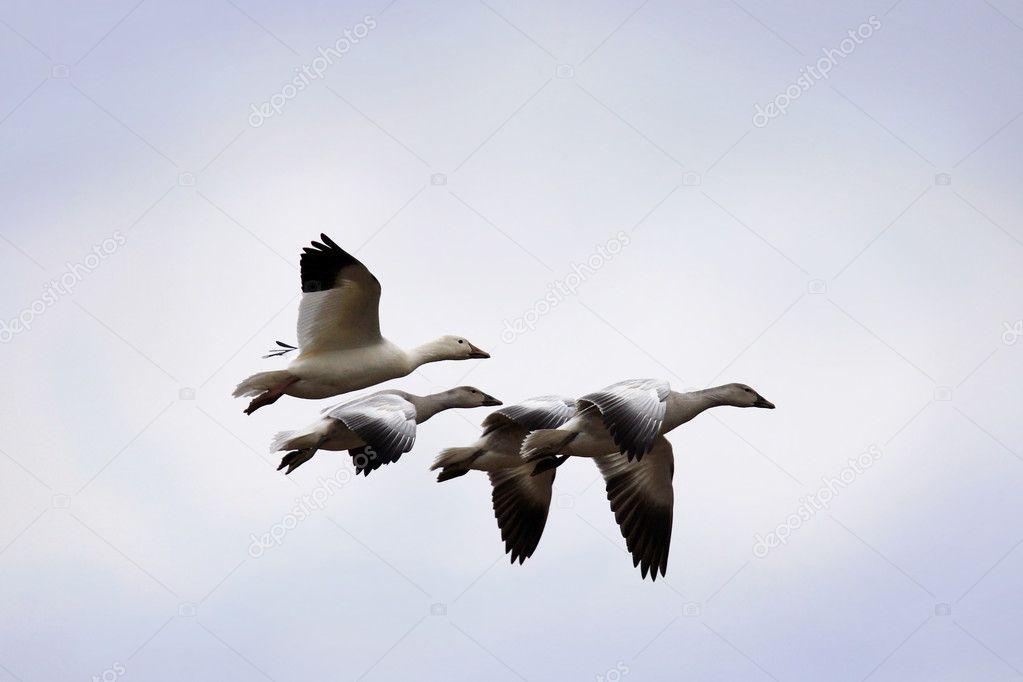 Snow geese and goslings in flight