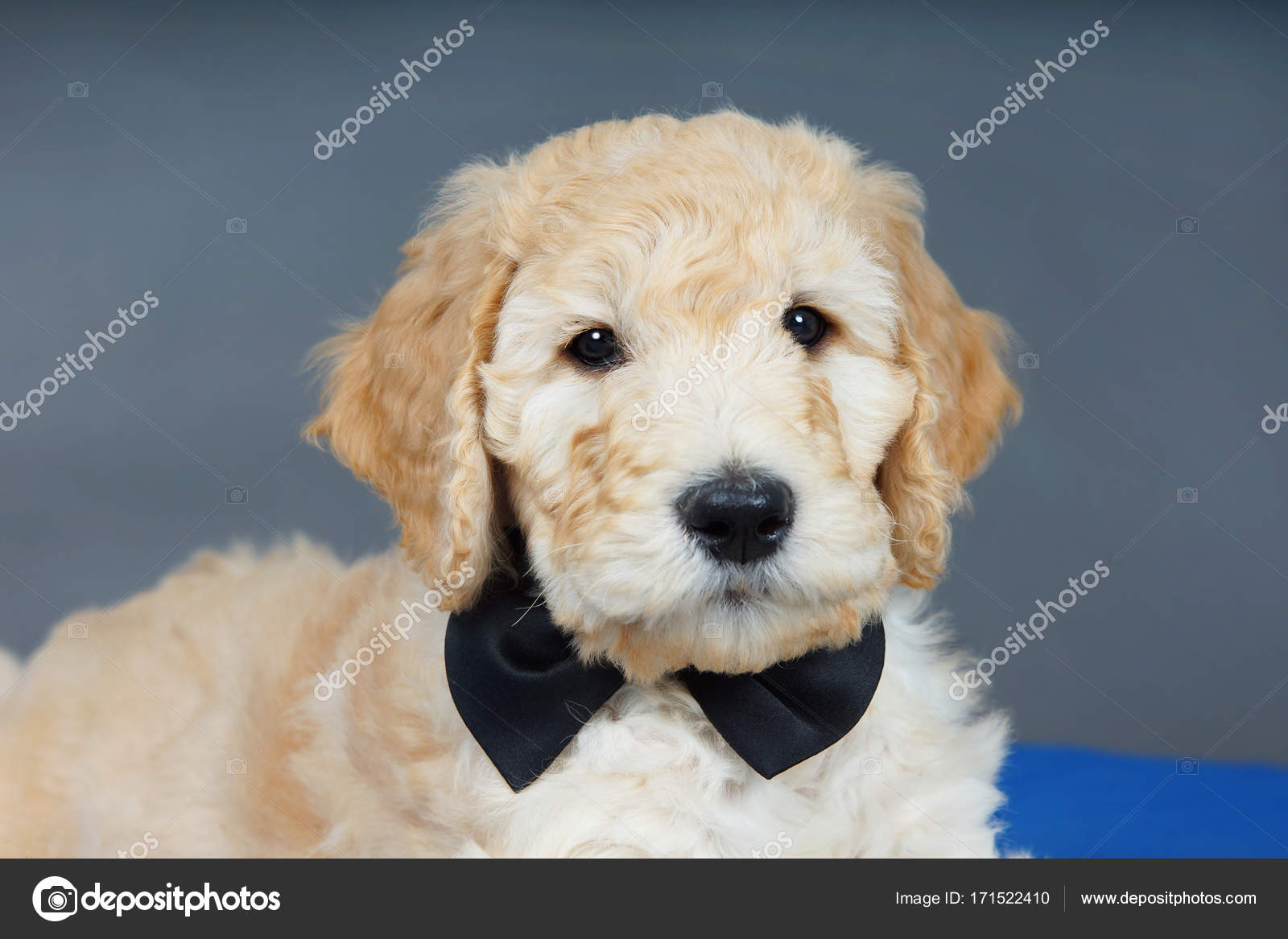 Pictures Black Goldendoodles Cute Goldendoodle Puppy With
