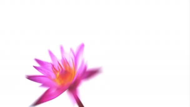 Fialová lilie se otáčela. Vodnatá rotace izolovaná na bílém pozadí. Video 4k.