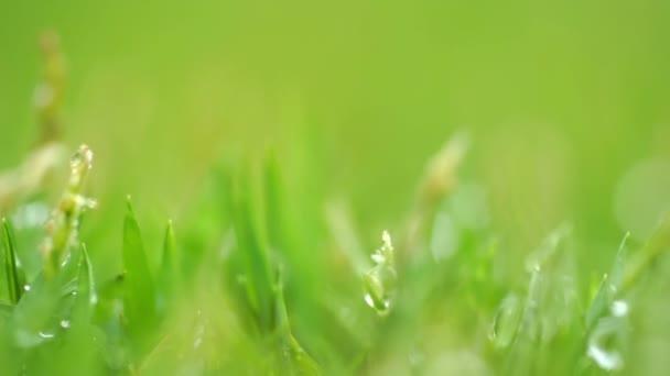 Zavřít zelené trávy s kapkami deště na pozadí.