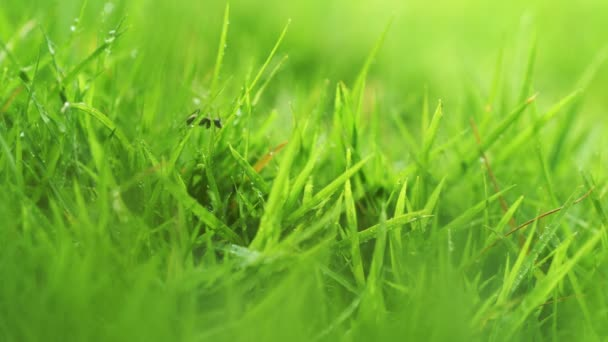 Close up green grass with ants background.