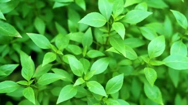 Basil plant in herbs garden. 4k video.