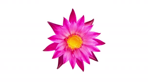 Pink water lily flower spinning, rotating  isolated on white background.