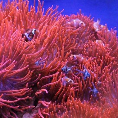 Orange Clown Fish