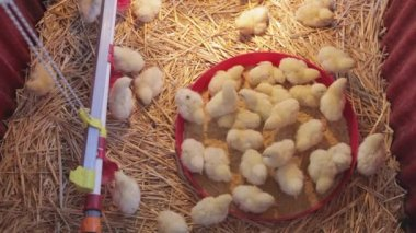 Top View of Baby Chicks