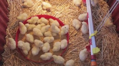 Baby Chickens Top Viev
