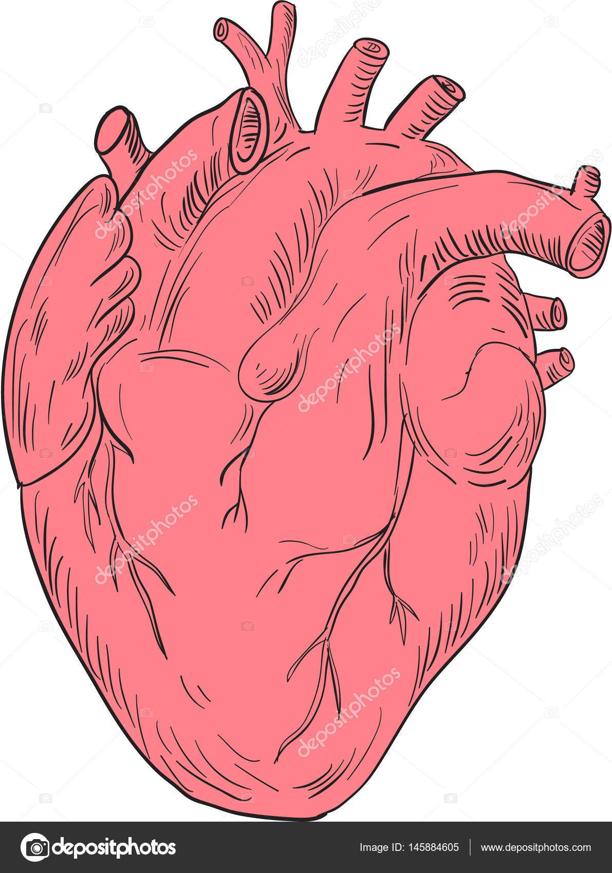 Menschliches Herz Anatomie Zeichnung — Stockvektor © patrimonio ...