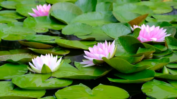Beautiful lotus pink or purple flower on the water after rain in garden