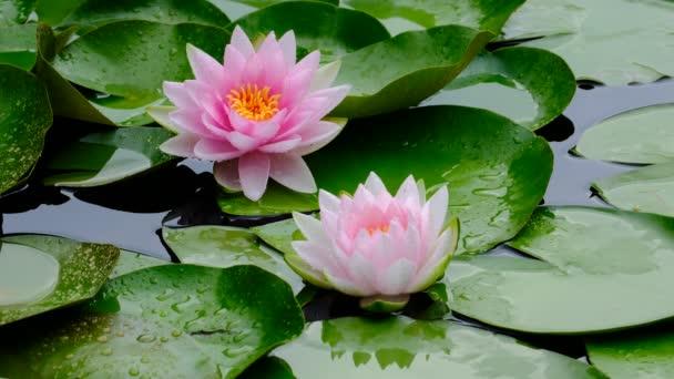 Krásný lotos růžová nebo fialová květina na vodě po dešti v zahradě
