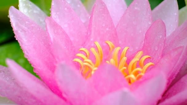 Gyönyörű lótusz rózsaszín vagy lila virág a vízen eső után a kertben