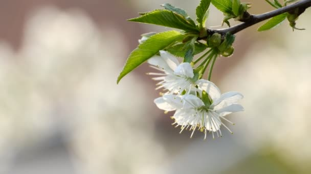 Spring cherry blossoming cherry tree white flowers in the garden