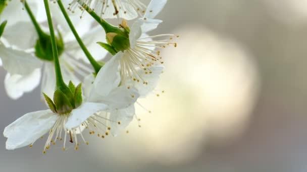 Tavaszi cseresznyevirágzó cseresznyefa fehér virágok a kertben