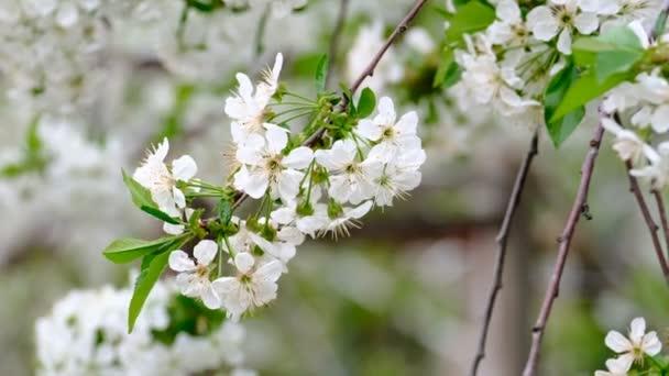 Jarní třešeň kvetoucí třešeň bílé květy v zahradě