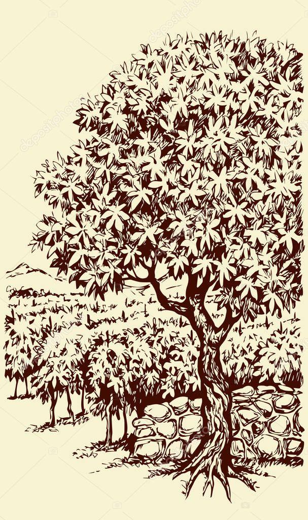 Vector drawing. Tree in Vineyard