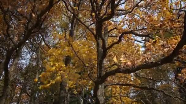 Obrovský dub se žlutými listy a mohutnými větvemi, kývajícími se v silném větru. Příroda v podzimním lese.
