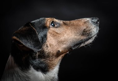 Dog looking up. Terrier dog portrait isolated on black. Indoor dog portrait.