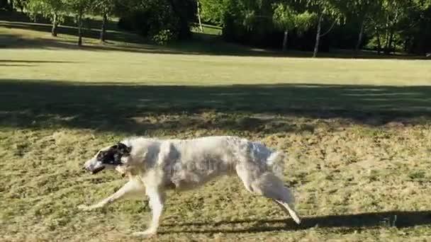 Cane in esecuzione allaperto. Cane del wolfhound russo, Borzoi al rallentatore.