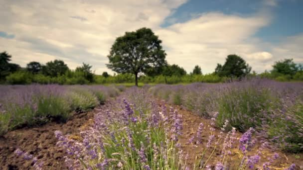 Lavender flower close up in a field and green tree background, video