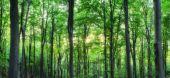 Panorama zelené horského lesa s slunečního světla mezi stromy jako pozadí