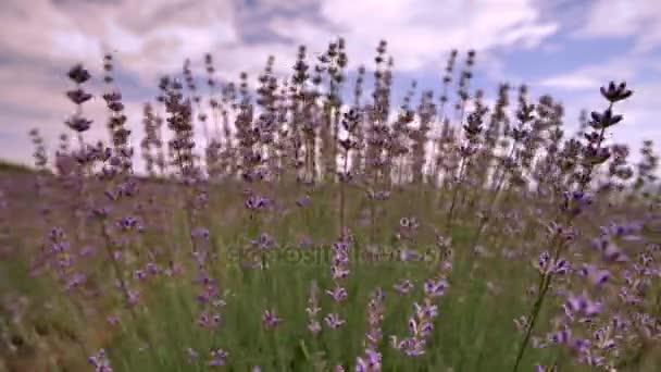 Kvetoucí levandule květ zblízka v poli v Provence Francie na modrém pozadí oblohy a mraky