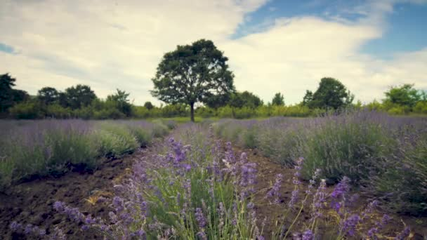 Blooming lavender flower bushes in a field in Provence, France. Close up. Video