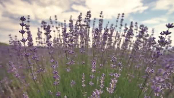 Virágzó levendula visszametszett mezőjében Provence Franciaország ellen, blue sky és clouds háttérré