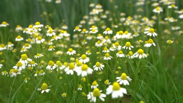 Field of white daisy flowers or camomile