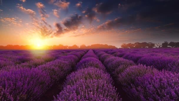 Levandulové květinové pole v nekonečných řadách. Západ slunce, krajina.