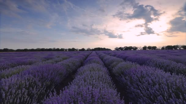 Lavender flower blooming fields in endless rows. Sunset, landscape