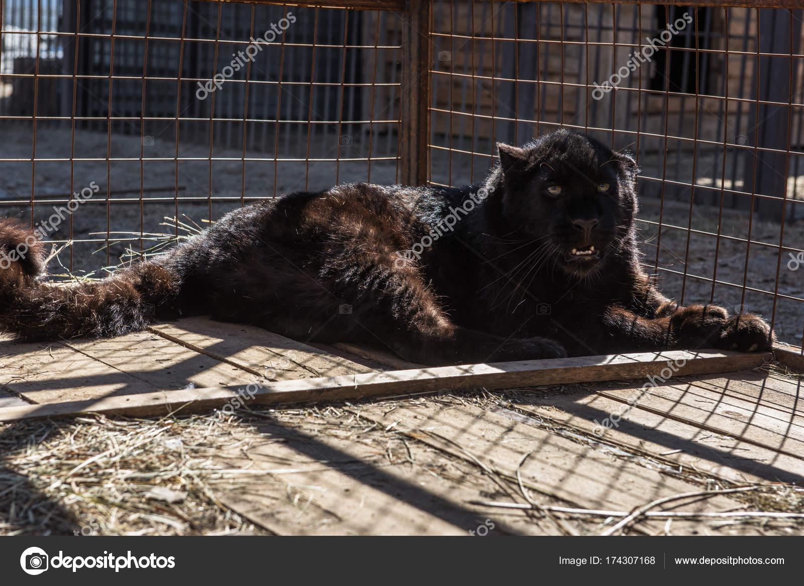 Porträt des schwarzen puma — Stockfoto © olinchuk #174307168