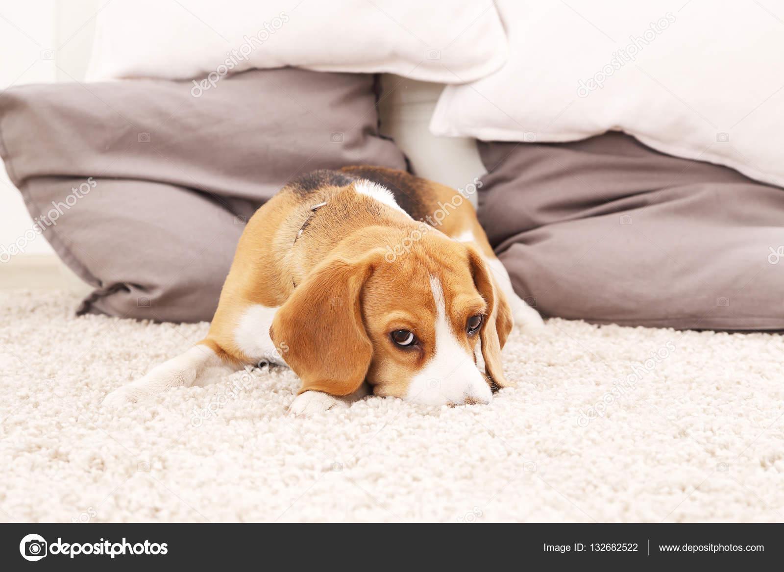 Tappeto Morbido Per Cani : Cucciolo di beagle triste sul tappeto morbido u foto stock