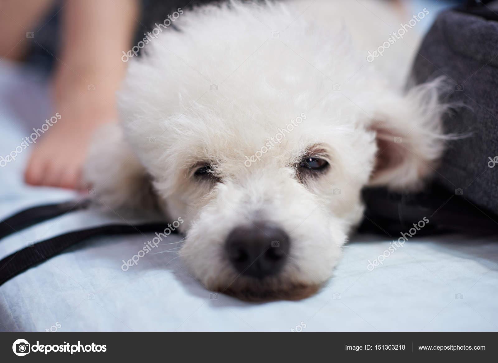 подобрать аромат, сонник щенок белый пудель духи могут