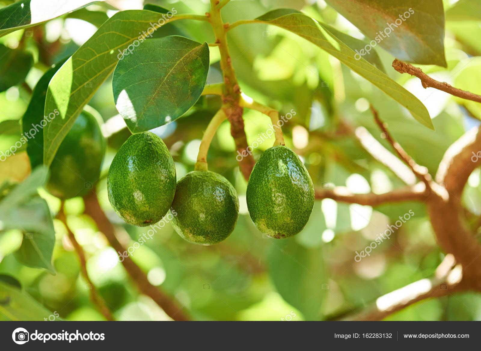 groupe d'avocat accrocher sur l'arbre — photographie dimarik