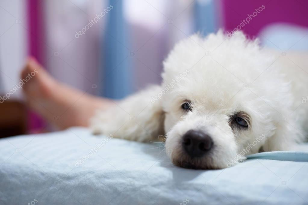 Bored white poodle lay on bed